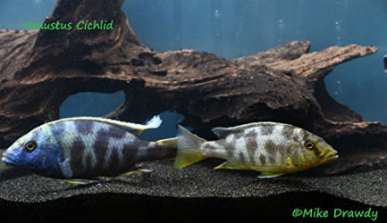 Buy pairs of breeding cichlids