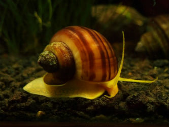 Albino Mystery Snails photo by InvertObsession