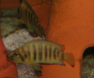 Altolamprologus compressiceps for Sale from Great Rift Valley Lake