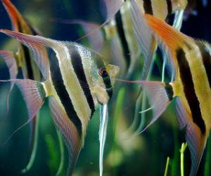 Buy Altum Angelfish online