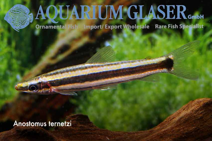 Anostomus Ternetzi Breeding photo Frank Schäfer