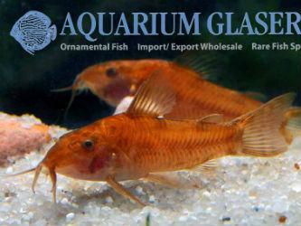 albinotic red variety of Aspidoras sp Text & photos: Frank Schäfer