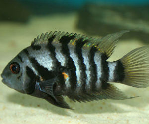 Female black convict cichlid