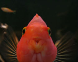Deformity of mouth red blood parrot fish