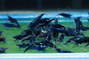 Blue black Shrimps photo credit: SoShrimp