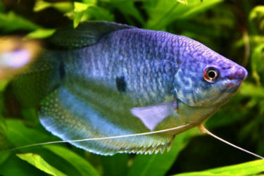 Blue Gourami for sale