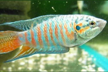 Blue Paradise Gourami for sale