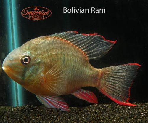 Bolivian Rams for Sale by Imperial Tropicals