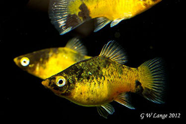 Bumblebee platy fish for sale