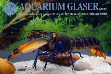 Buy Blue Moon Crayfish photo: Frank Schäfer