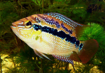 Salvini Cichlid photo Banteo