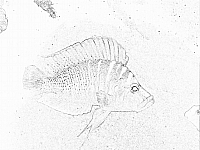 Click here to learn about compressiceps cichlids