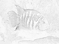 Click here to learn about convict cichlids