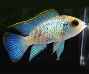 Rare Electric blue acaras for sale