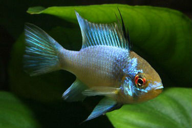 Electric German Blue Ram