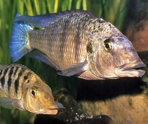 Fossorochromis rostratus pair