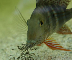 Geophagus altifrons with fry