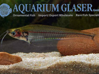 Golden back ghost catfish for Sale Kryptopterus minor
