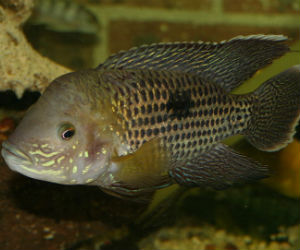Aequidens rivulatus young male