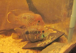 Green terror cichlids are egg layers