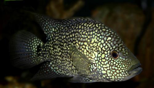 Texas cichlid fish