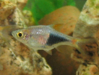 Harlequin Rasbora for Sale Online