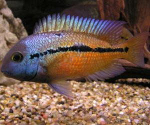 Buy Nicaragua  Cichlids for Sale