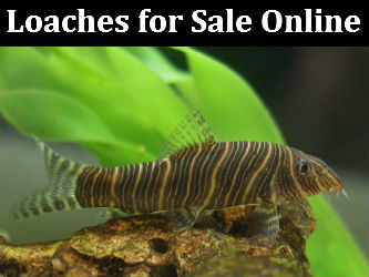 Loaches for Sale Online