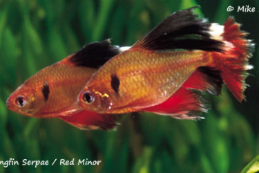 Long Fin Serpae Tetras