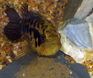Female jaguar cichlid fanning eggs