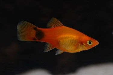 Mixed platy fish for sale
