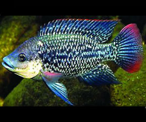 Mozambique Tilapia fingerlings available