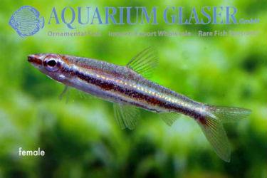 Nannostomus marylinae pencil fish female photo Frank Schäfer