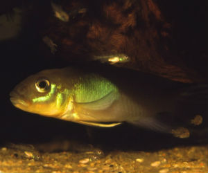 Nanochromis dwarf cichlids for sale