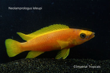 Neolamprologus leleupi for Sale