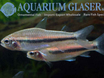 African Emperor tetra for sale