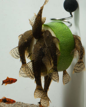 Order your Pleco Fish Feeder Today