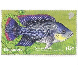 live mozambique tilapia fingerlings available