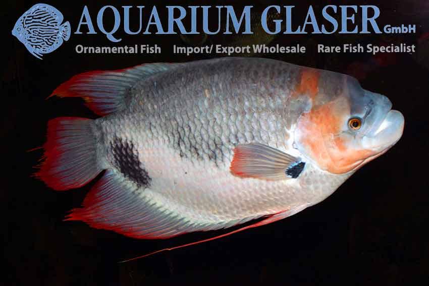 Buy red finned giant gourami photo Frank Schäfer
