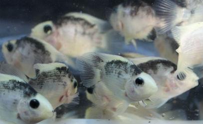 Panda parrot cichlid fish
