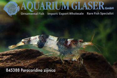 Paracaridina zijinica mustang shrimp Frank Schäfer