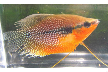 Beautiful Pearl Gourami for sale online