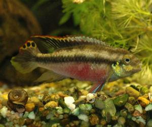 Pelvicachromis species