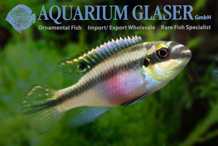 Pelvicachromis pulcher wild Yellow