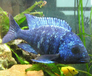 placidochromis phenochilus tanzania for sale