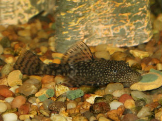 Plecotomus for Sale at JustCichlids.com