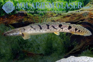 Polypterus for sale photo Frank Schäfer