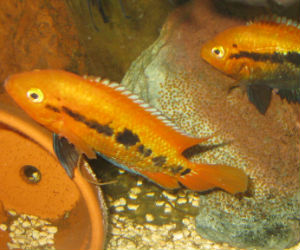 Breeding rainbow cichlids