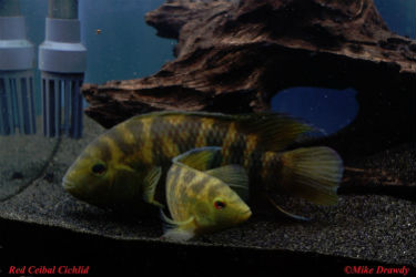 Pair of Red Ceibal Cichlids