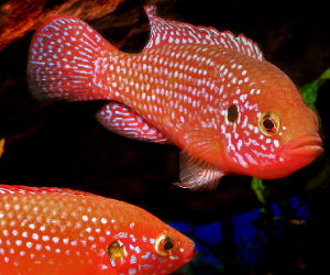 Red jewel fish cichlids available